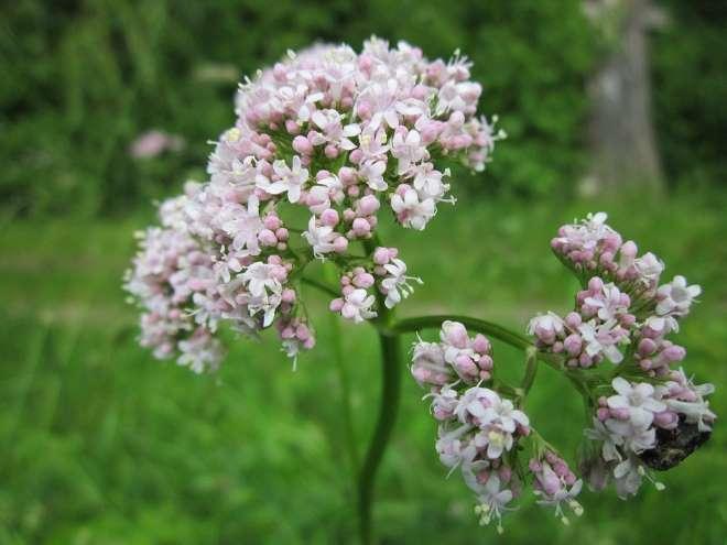 valeriana-officinalis1