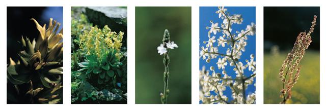 sinupret-rastline