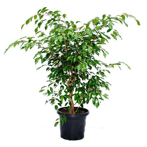 Ficus-Benjamina1