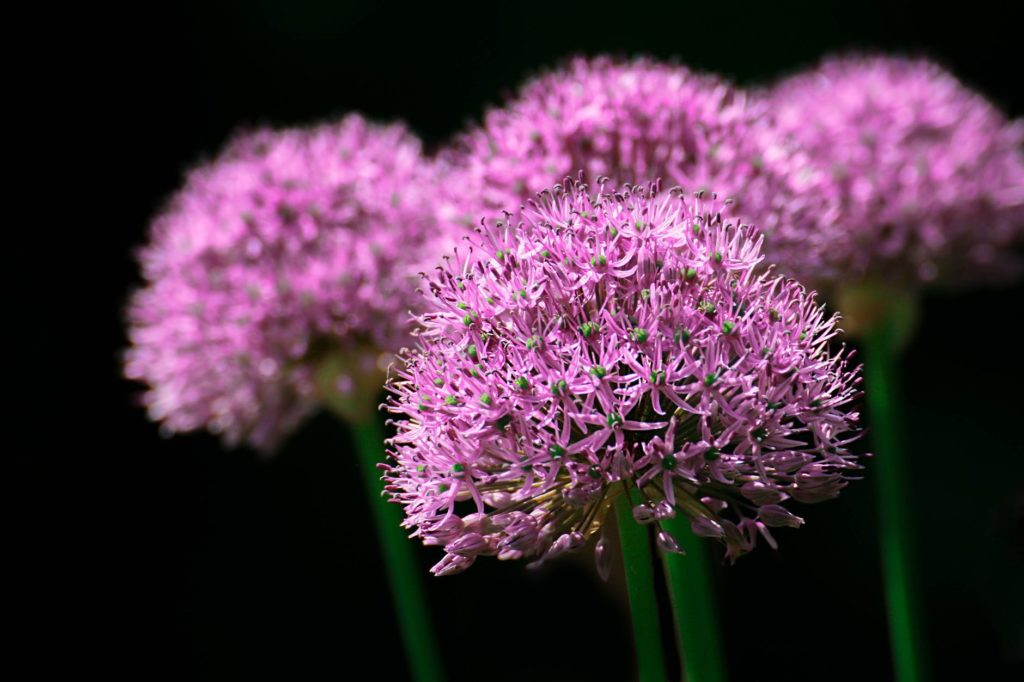 cesnjak u cvatu