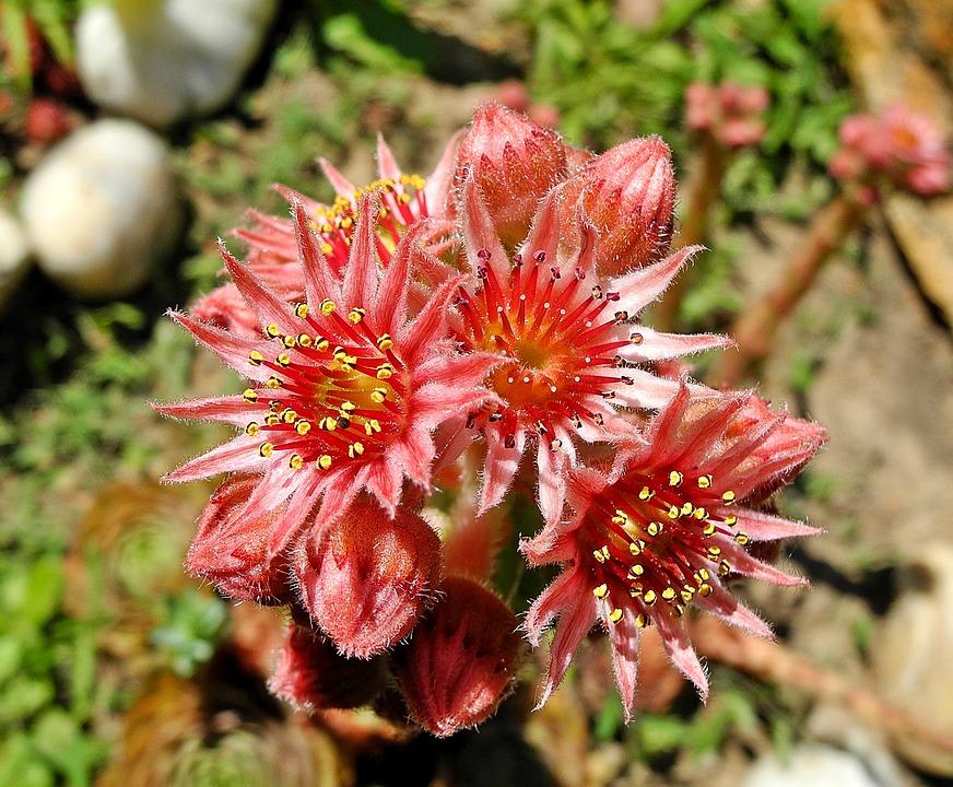 cuvarkuca biljka cvijet