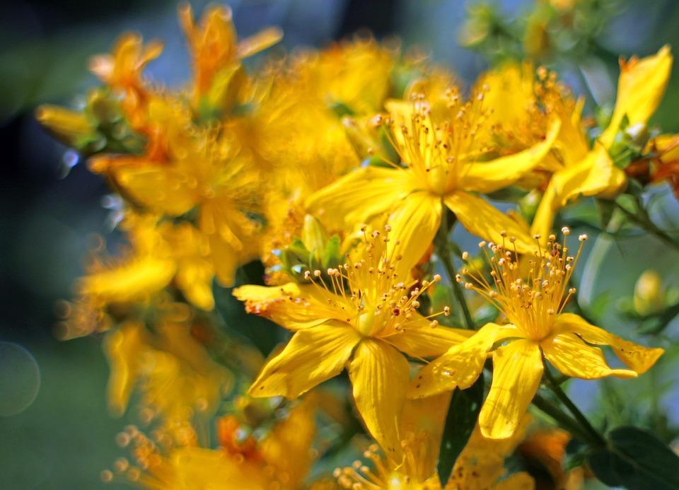 zuti cvijet gospina trava