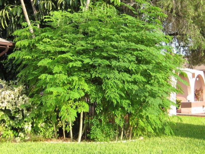 Moringa – drvo života
