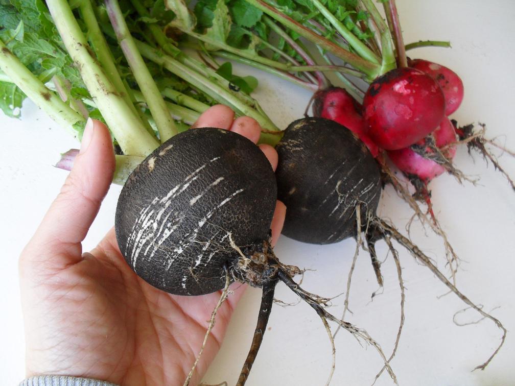 povrtnica crna rotkva salata