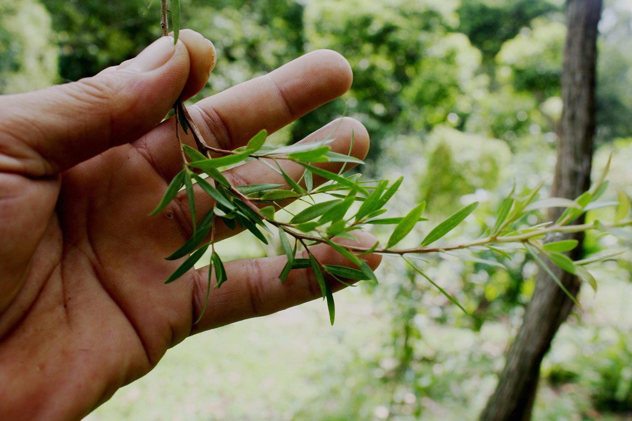 cajevac biljka grana list ruka