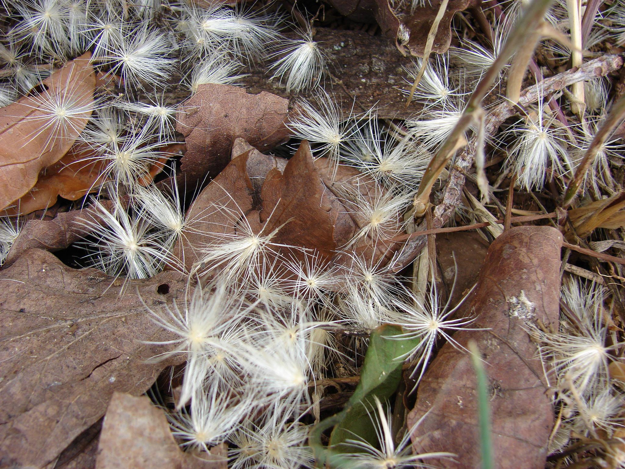 bodljikava sikavica biljka sjemenke