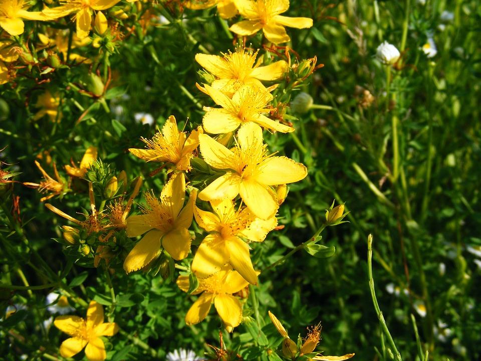ljekovita biljka gospina trava cvijet
