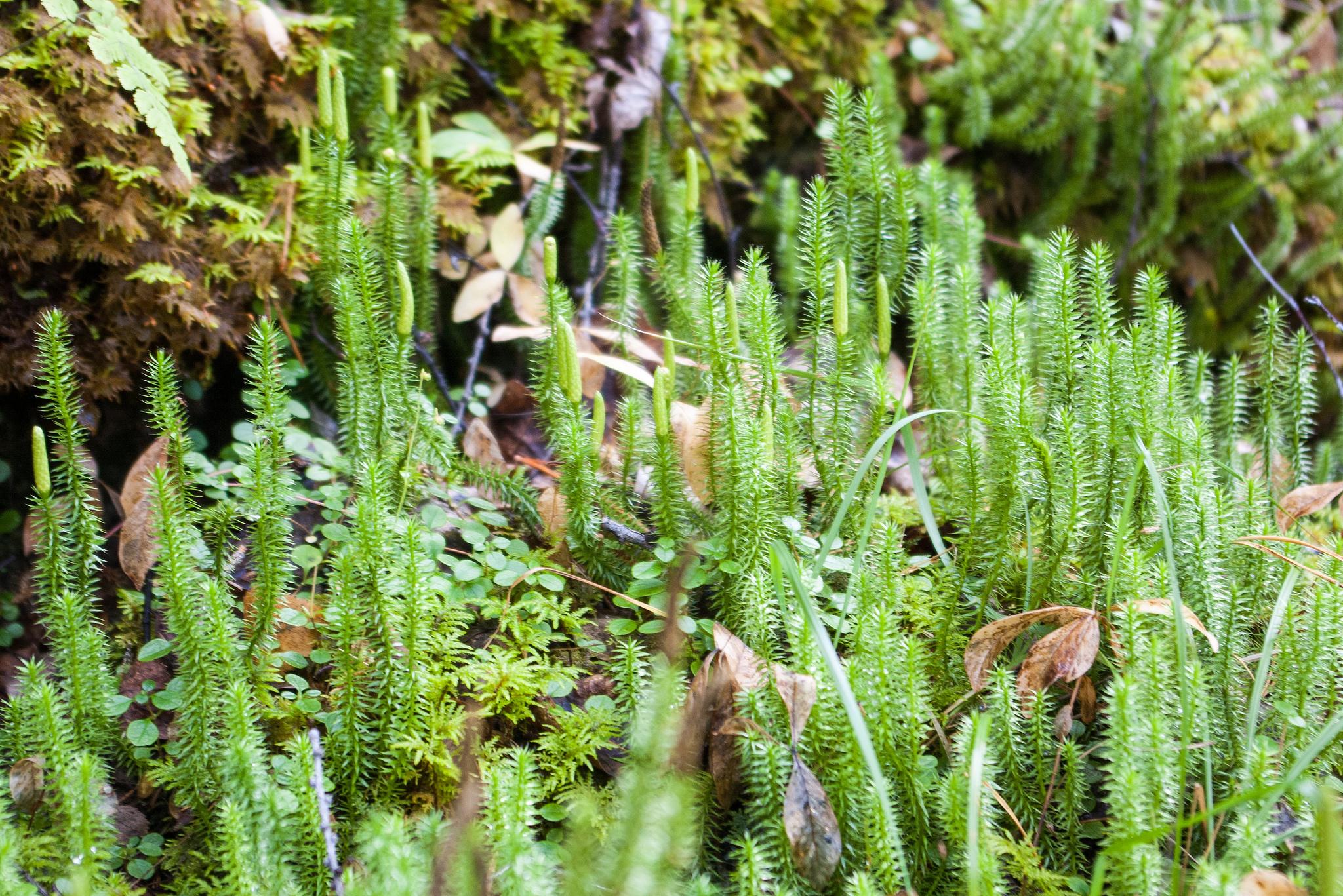 obicna crvotocina ljekovita biljka