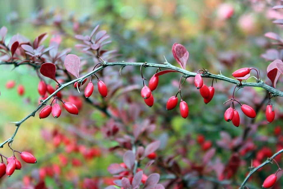 obicna zutika plod trn list ljekovita biljka