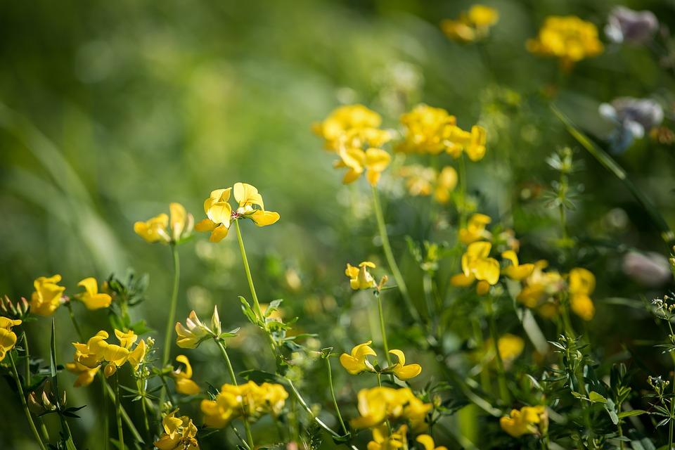 piskavica ljekovita biljka cvijet