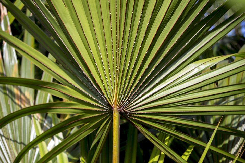 sabal palma ljekovita biljka mokrenje prostat muskarac