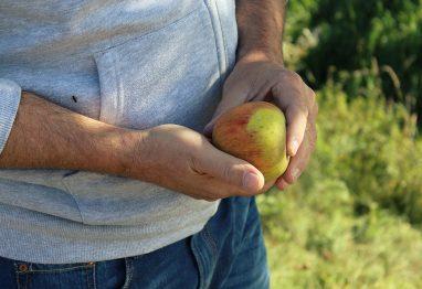 čas jesenske žetve, moški z jabolkom v roki
