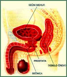 19657-prostata